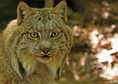 Lynx...#16 (Guy Lichter Photography - 3.7M views Thank you) Tags: canon 50d canada ontario muskoka muskokawildlifecentre animals mammal mammals lynx