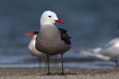 Heermann's Gull (Andrej Chudy) Tags: bird birding birdwatching usa america trip canon wild wildlife animal nature outdoor fullframe beach gull canon600mmf4isusm canon1dx 1dx northamerica shoreline california ocean pacific