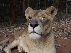 """Bella the Lioness • <a style=""""font-size:0.8em;"""" href=""""http://www.flickr.com/photos/152934089@N02/23762034718/"""" target=""""_blank"""">View on Flickr</a>"""