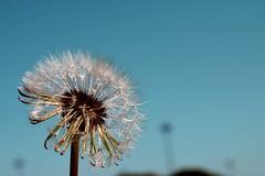 Dandelion (RAlmeidaPhoto) Tags: dandelion nature efemero taraxacum