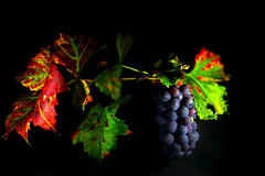 Colours of October (Phancurio) Tags: grapes autumn colours leaves