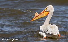 American White Pelican (Anne Marie Fraser) Tags: colorado pelican white americanwhitepelican lake swimming wildlife bird nature water wild