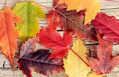 Maple rainbow (speech path girl) Tags: autumn fall leaves colorful rainbowcolors amurmaple maple