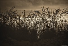 Sea grass..... (Joe Hengel) Tags: capehenlopenstatepark capehenlopen statepark park grass dune dunegrass delaware de lowerslowerdelaware lsd lewes lewesde bw blackandwhite monochrome clouds cloudy cloudyovercast cloudyday morning morninglight seagrass silhouettes silhouette