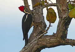 Carpintero Real, Lineated Woodpecker (Dryocopus lineatus) (Hylatomus lineatus) (Francisco Piedrahita) Tags: aves birds lamacarena colombia carpinteroreal lineatedwoodpecker dryocopuslineatus hylatomuslineatus