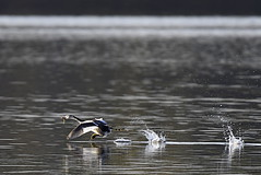 Fishnapped (c.marney) Tags: great crested grebe fish