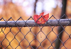 ~fallen...after the rain..... (nushuz) Tags: leaf stuck fallen onmyneighborsfence mapleleaf red extremebokeh foliagedof happyfencefriday hff metalfence pretty raindroponleafstem