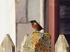 Stonechat (_jons_) Tags: hilbreisland hilbre nature naturephotography wildlife wildlifephotography birds birding birdingphotography birdwatching birdphotography