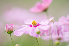 shall we dance? (qrsk) Tags: cosmos flower pink autumn nature コスモス 花 植物 昭和記念公園 秋