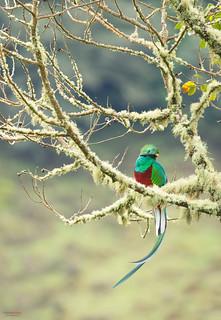 Resplendent Quetzal (Pharomachrus mocinno) under the  morning light.