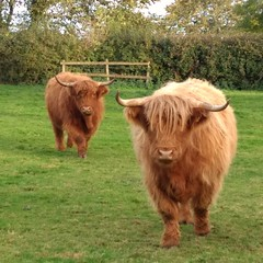 Campsite companions (John Spooner) Tags: highland cattle yorkshire two ginger horn