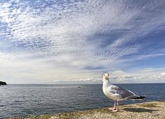 Salut gars ! (Emmanuel Cattier -) Tags: bretagne houat morbihan france été vacances mer ocean sea îledhouat oiseau goelan bird
