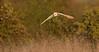 Barn Owl (KHR Images) Tags: barnowl barn owl tytoalba wild bird birdofprey inflight flying hunting evening sunshine sunny goldenhour cambridgeshire fens wildlife nature nikon d500 kevinrobson khrimages