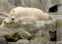 Polar Bear Valeska***power nap (BrigitteE1) Tags: polarbearvaleska nap zooammeer bremerhaven deutschland germany zoo eisbär polarbear valeska powernap ursusmaritimus eisbärvaleska bär bear mammal säugetier fuchs fox polarfox polarfuchs schlaf müde tired sleep tier animal