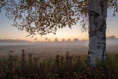 September fog (- Man from the North -) Tags: tree field landscape foggyevening fog foggy evening autumn sunset dusk leaves birchtree treetrunk forest nature naturephotography naturallight scene scenery serene calm nikond500 samyang14mmf28 wideanglelens landscapephotography finland100 finland suomi suomi100 westcoast ostrobothnia mist grass birch