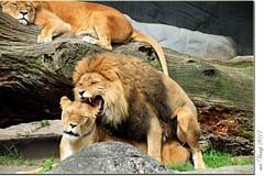 Lions in love (Mr.Vamp) Tags: löwen lions mrvamp vamp sex machen liebe löwenmachenliebe liebesakt