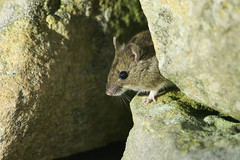 Wood Mouse (Apodemus sylvaticus) Orkney 2017. (Sandra Standbridge.) Tags: woodmouse apodemussylvaticus mouse wall rocks rodent animal wildandfree wild wildlife outdoor nature orkney orkneyisland mammal cute sweet adorable pose