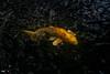 Golden Koi (kurtmunich) Tags: kihei kalama village maui golden koi fish hawaii