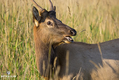 Spike (matthewolsonphotography.com) Tags: elk rooseveltelk spike antlers deer wildlife california meadow humboldt redwoods