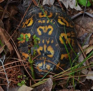 Eastern Box Turtle At Matapeake