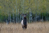 Elks and Aspens (Khurram Khan...) Tags: grandtetonnationalpark wildlife wildlifephotography wild wwwkhurramkhanphotocom winter elk deer khurramkhan ilovenature iamnikon nikonnofilter naturephotos