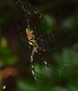 Jorō spider female (Nephila clavata) (SteveInLeighton's Photos) Tags: september 2017 japan okunoshima rabbitisland spider araneae