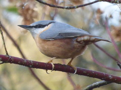 P2650720c (Young??) #Nuthatch .. #gardenbirds .. (Erniebobble *~* HappyHolyWeek2018! *~*) Tags: erniebobble edge wildlife woodland gentle glimpse garden autumnwatch nature focus wings portrait colours restful tranquil harmonious balance wildlifegarden foliage leaves leafy green soft unsprung unseen screen growing above newforest season study suspended stilllife light looking linger perched resting biodiversity environment
