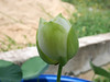Nelumbo nucifera 'Huang Mu Dan' Lotus Klong15 008 (Klong15 Waterlily) Tags: huangmudan sacredlotus flower lotusflower thailotus nelumbo nucifera nelumbonucifera yellowlotus