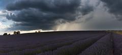 Shower in the Provence (MrBlackSun) Tags: thunderstorm thunder storm provence valensole summer lavender fields nikon d810 landscape scenery