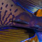 Bignose Unicornfish, scalpels - Naso vlamingii thumbnail