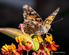 Painted Lady (Lindell Dillon) Tags: paintedlady butterfly lepidoptera nature oklahoma lindelldillon