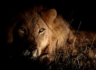 African Lion (Panthera leo) in Timbavati Reserve, Kruger, South Africa