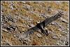 Gypaète bec 171018-06-P (paul.vetter) Tags: oiseau ornithologie ornithology faune animal bird gypaètebarbu gypaetusbarbatus bartgeier quebrantahuesos beardedvulture vautour rapace