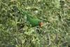 IMG_5533-2 (Jamil-Akhtar) Tags: canon 50d jupiter jupiter21 200mm nature birds parrot islamabad pakistan