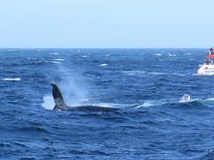 Whale watching sydney (Jellibat) Tags: whales humpback humpbackwhale sydney nsw newsouthwales boat tour whalewatchingsydney nature australia
