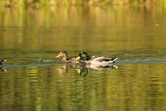 El ánade real o azulón / Mallard Duck (Anas platyrhynchos) (Gogolac) Tags: mallardduck anadereal newyork centralpark birdphotography birdie birdsspotters fotografiasrealizadasenel2017 2017 usabirds birding