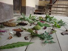 Autunno (ba.sa74) Tags: museo frutti bosco castagna foglie ghiande melissa riccio sambuco natura stagione boscaglia raccolta ecomuseo innamoratidelbiellese mezzana