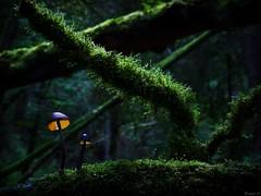 The  Magic of Mushrooms (Eifeltopia) Tags: moss branch gorge trees lights mushroom glowing pilze pilz eifel undergrowth magical enchanting hidden forest zauberwald autumn herbst