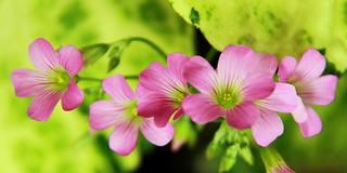 Fleurs de trèfle pour beaucoup de Chance, Bonheur et Prospérité