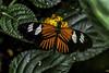 Beautiful Butterflies at the Burger Zoo-5 (AaronP65 - Thnx for over 10 million views) Tags: butterfly burgerszoo netherlands arnhem gelderland
