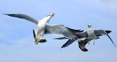 Seagulls (keiko*has) Tags: 7dwf sunday fauna seagull inflight