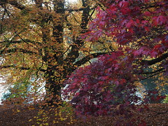 """Stourhead in Autumn (Say """"Wasabi"""") Tags: colours stourhead nationaltrust leaves landscape olympus m43 omdem5ii mzuiko1240 light plants landscaped gardens scenery autumn fall trees nature wiltshire autumnal"""