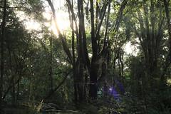 Natural light - Alishan (Chapo78) Tags: taiwan alishan forest trees light quiet nature green