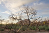 Regrowth (Eric Binns Photography) Tags: tree death charred fire forest tontonationalforest arizona outside outdoors skeleton sonorandesert desert redmountain clouds