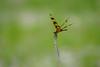 DSC03366.jpg (joe.spandrusyszyn) Tags: celithemis orlando odonata nature insect halloweenpennant unitedstatesofamerica celithemiseponina dragonfly byjoespandrusyszyn libellulidae florida shadowbaypark animal arthropod pennant anisoptera