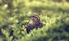 Now you see me (akigabo) Tags: montreal nature spring fauna animal bird canon 100mm green light dof sunset life akigabo 7dwf