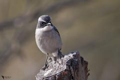 Grey Bushchat (Saxicola ferreus) (zotyesz1) Tags: nature outdoor bushchat greybushchat pakistan