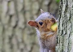 Grey squirrel (PhotoLoonie) Tags: greysquirrel squirrel autumn nikon animal wildlife nature