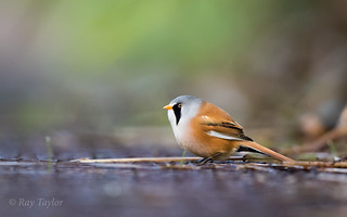Low angle Bearded Tit