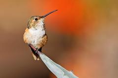 Waiting (Life of David) Tags: california camarillo canon5dmarkiv selasphorussasin usa wildlife allenshummingbird backyard beautiful beauty bird fierce hummingbird nature pretty world100f